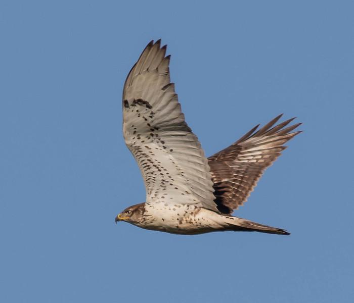 Ferruginous Fly By