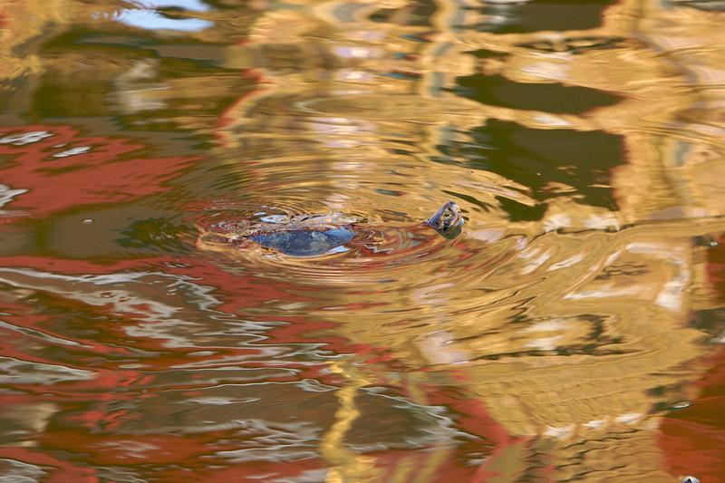 Swimming Turtle, Grand Palace, Bangkok, Thailand