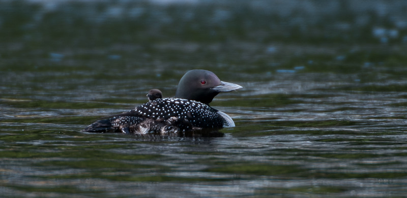 2017 First Loon Chick