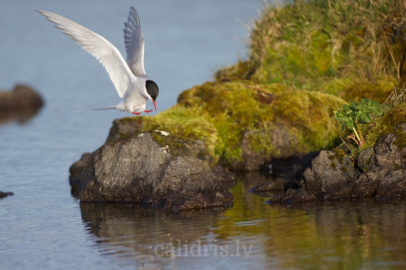 Arctic tern landing on a rock