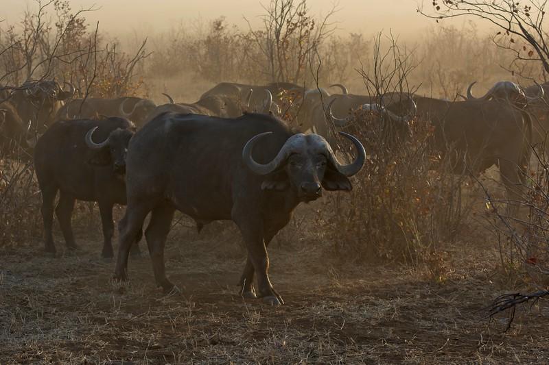 CApe Buffalo 4.jpg