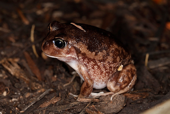 Whooping Frog