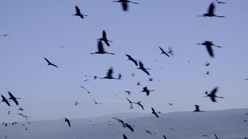 Cranes.mp4