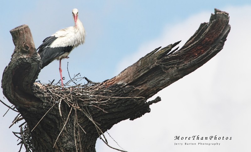 """""""Did I really leave this in such horrible mess last autumn?"""" 2013-05-08  White stork reviewing an obviously winter-damaged nest in Marchegg, Lower Austria.  Many thanks for the comments about the troubadour."""