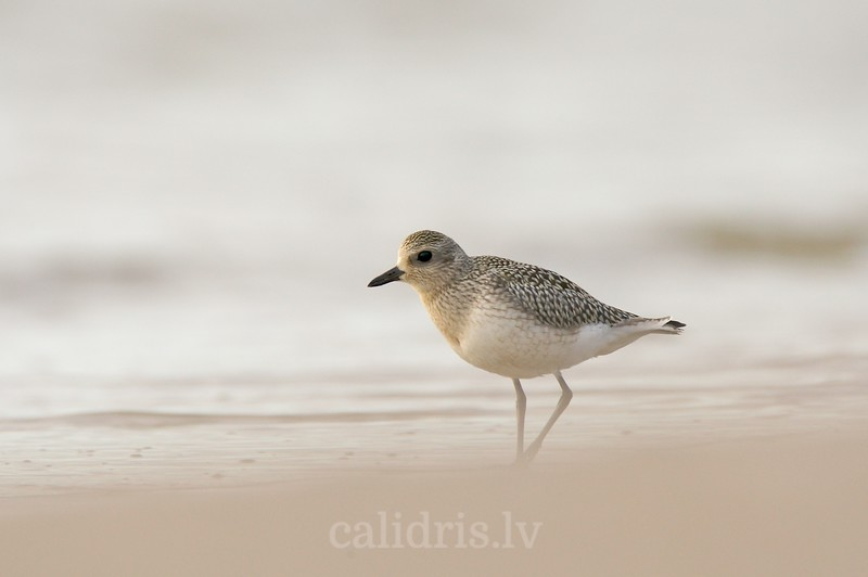 Grey plover on beach