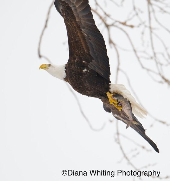 Bald eagle 25.jpg
