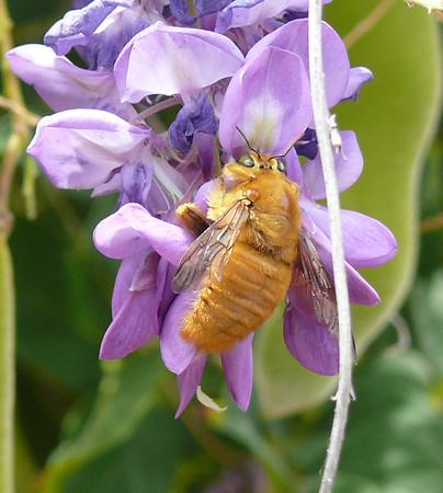 golden bumblebee in our backyard