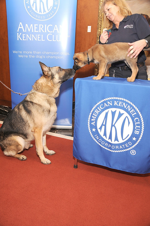 . Two German Shepherds, Commander and a puppy named Tsunami pose for pictures at the American Kennel Club press conference. The German shepherd continues to hold a place in the nation\'s heart. (Photo by Gary Gershoff/Getty Images)