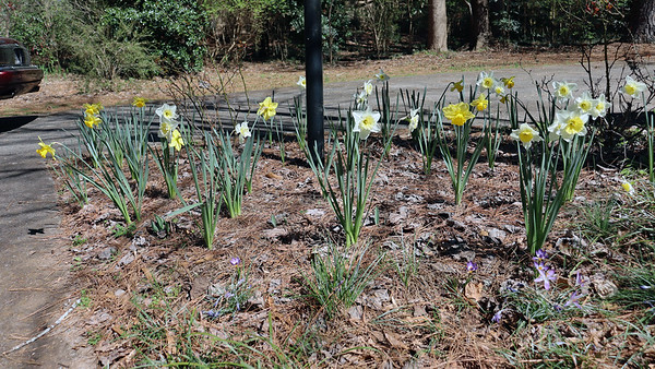 March 8:  A few more daffodils appear .  .  .