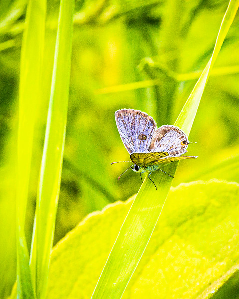 Melissa Blue Butterfly, Plebejus melissa
