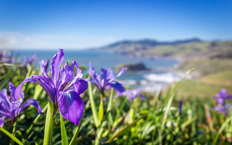 California Coast Iris