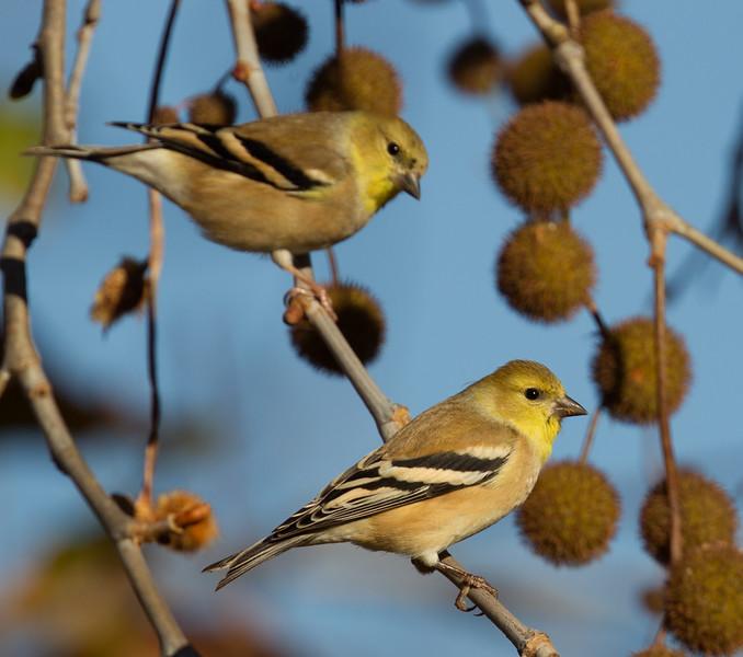 American Goldfinch  Encinitas 2015 12 01-4.CR2
