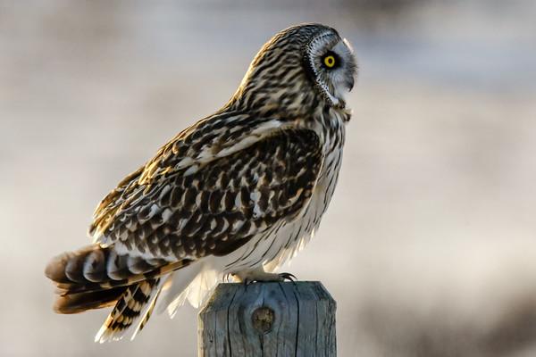 3-19-18 **Short-eared Owls