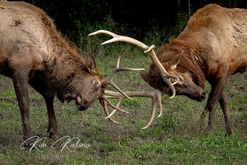 Male Elk Battle-05228.JPG
