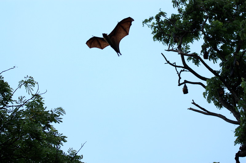 Flying fox.jpg