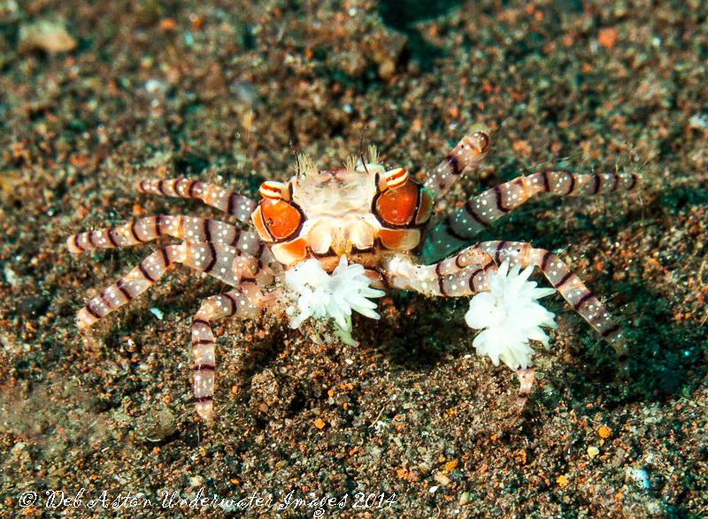 Boxer Crab Lybia tesselata