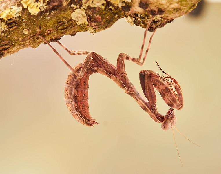 Double Shield Mantis