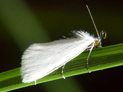 subfamily Schoenobiinae