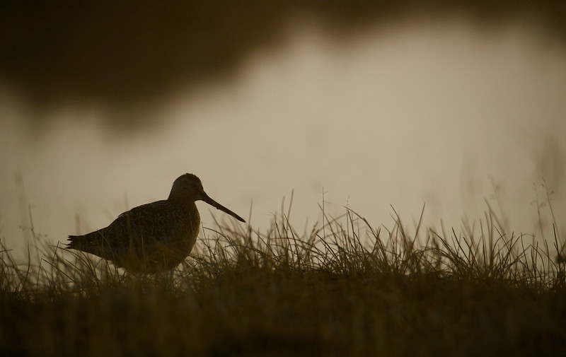 Long-billed Dowitcher silhouette