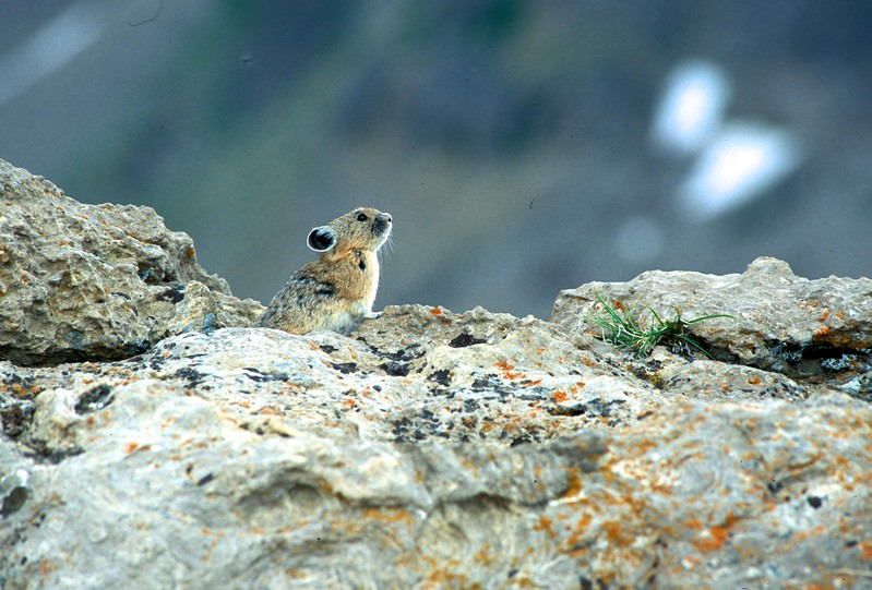 """Pika are called the """"little haymakers' as they gather grasses, drying them in the sun, to store for the winter [July; Rendezvous Mtn, Jackson Hole, Wyoming]"""