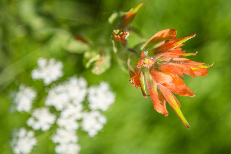 Frog-Lake-Wildflowers-673A8603.jpg