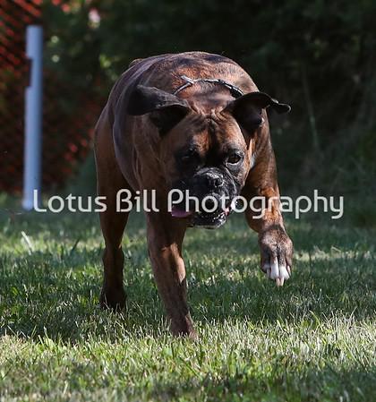 Brindle Boxer SR