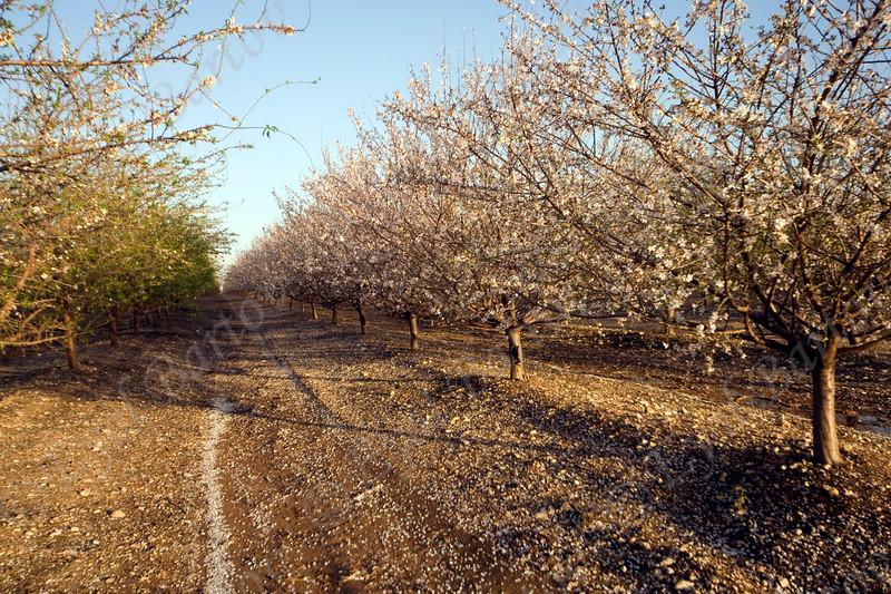 4U7C9968 Almond plant.jpg