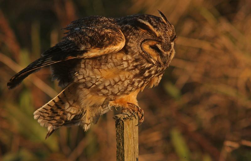 WB~Long-eared owl take off1280.jpg