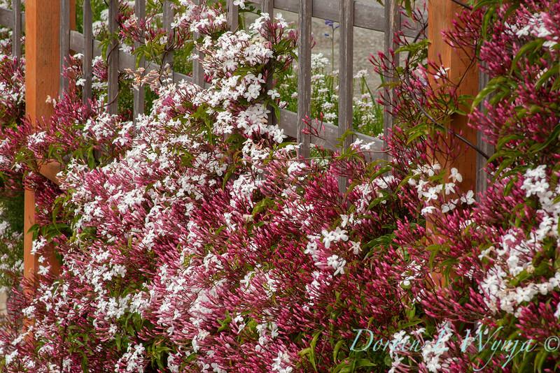 Jasminum polyanthum trellised_2519.jpg