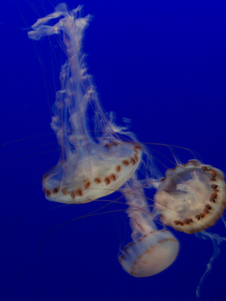 The jellies are one of the most popular exhibits at the Aquarium