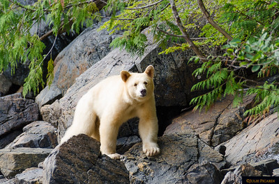 Bears of the Great Bear Rain Forest August 2015