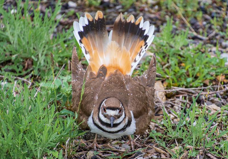 Killdeer-guarding-nest-ArlingtonRd-5-3.jpg