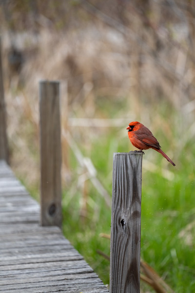 cardinal perched on the support beam of a wetland boardwalk