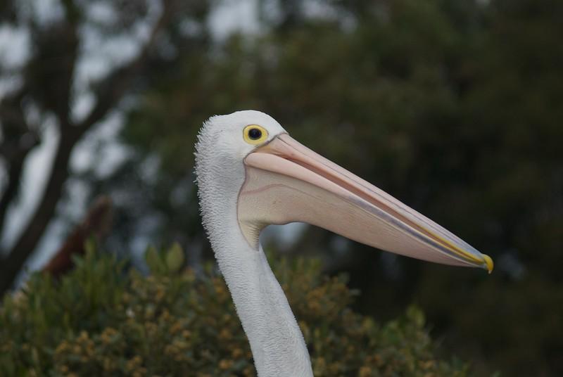 Pelican (1 of 1).jpg