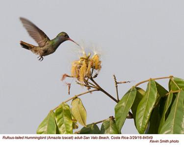 Rufous-tailed Hummingbird A84549.jpg