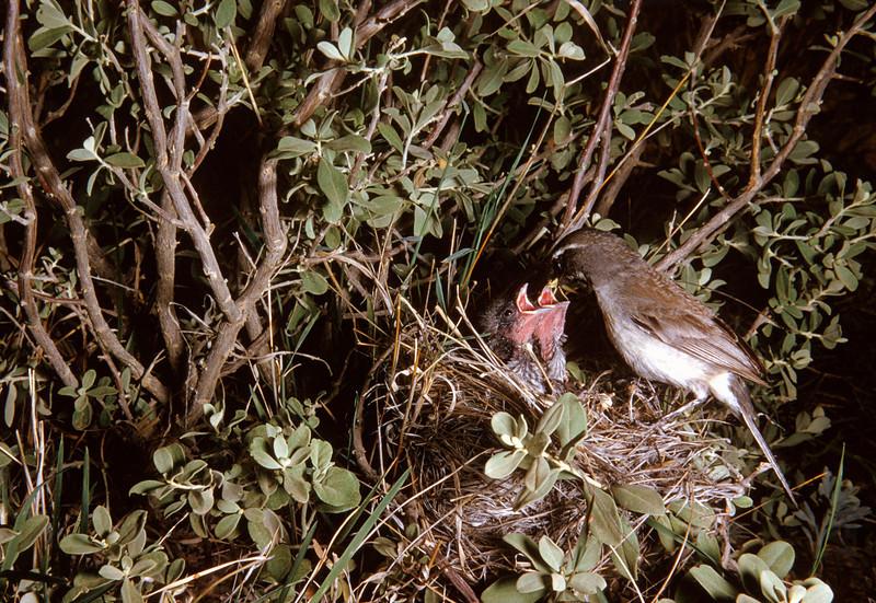 Black-throated Sparrow (Amphispiza bilineata), Big Bend National Park, Texas