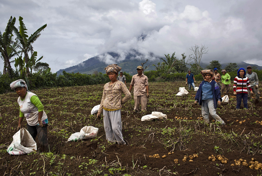 . Villagers harvest potatoes at their field, located just less than four kilometers from mount Sinabung in Karo district on November 14, 2013 in Medan, Sumatra, Indonesia. Up to 4,300 residents have been evacuated from five villages in North Sumatra due to the volcanic eruptions of Mount Sinabung. The volcano has been erupting for several days, spewing ash and lava 2.5 miles into the sky.  (Photo by Ulet Ifansasti/Getty Images)
