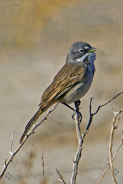 Singing Bell's Sparrow