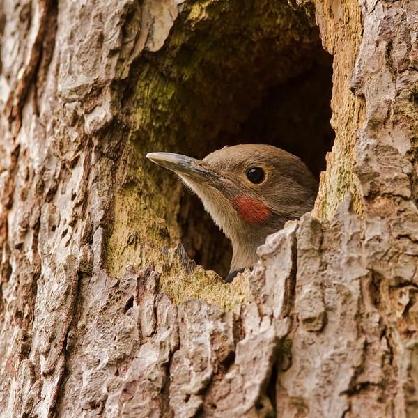 Northern Flicker nestling