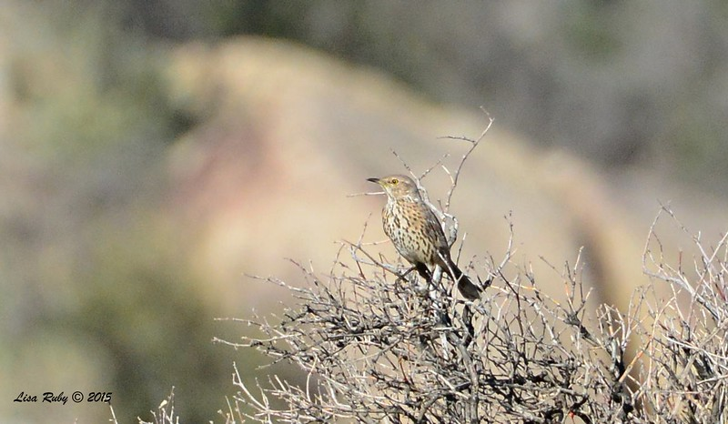 Sage Thrasher - 3/7/2015 - Big Springs Trail off Montezuma