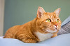 Orange colored tabby cat laying on the edge of a bed. Photography fine art photo prints print photos photograph photographs image images artwork.