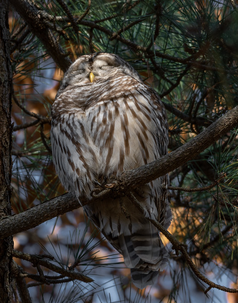 Barred Owl Sleeping
