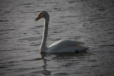 Whooper Swan (escape)