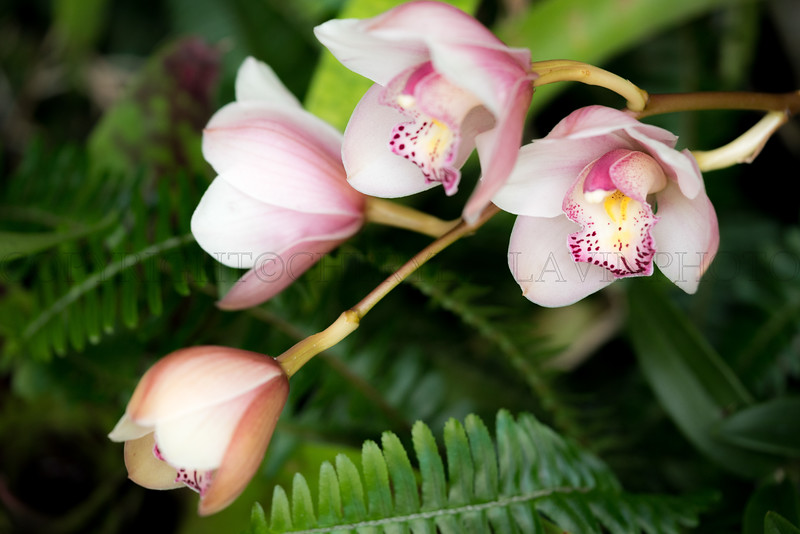 Soft Round Pink Orchid