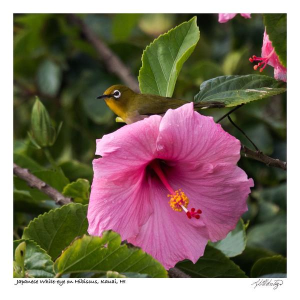 180203_MG_9216 Japanese White-eye on Hibiscus Kauai.jpg