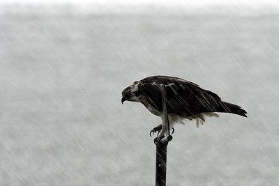 Ospreys in the rain