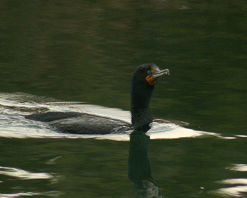 Cormorant, Humber Bay Park
