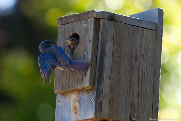 Bluebirds-Random Images