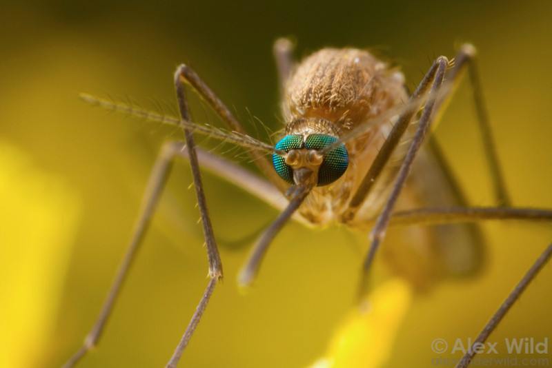 Close-up photograph of a mosquito.