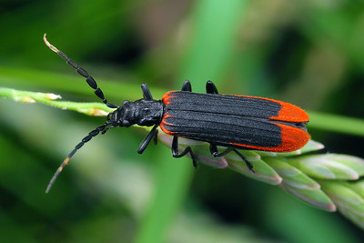 Oedemeridae - False Blister Beetles
